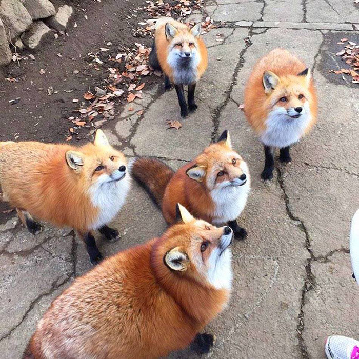 skulk of foxes