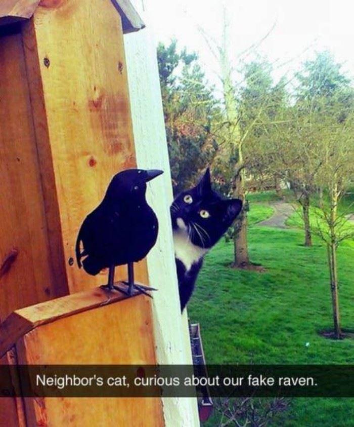 cat fake raven
