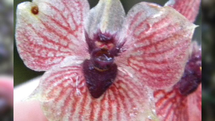 new orchid with devil head