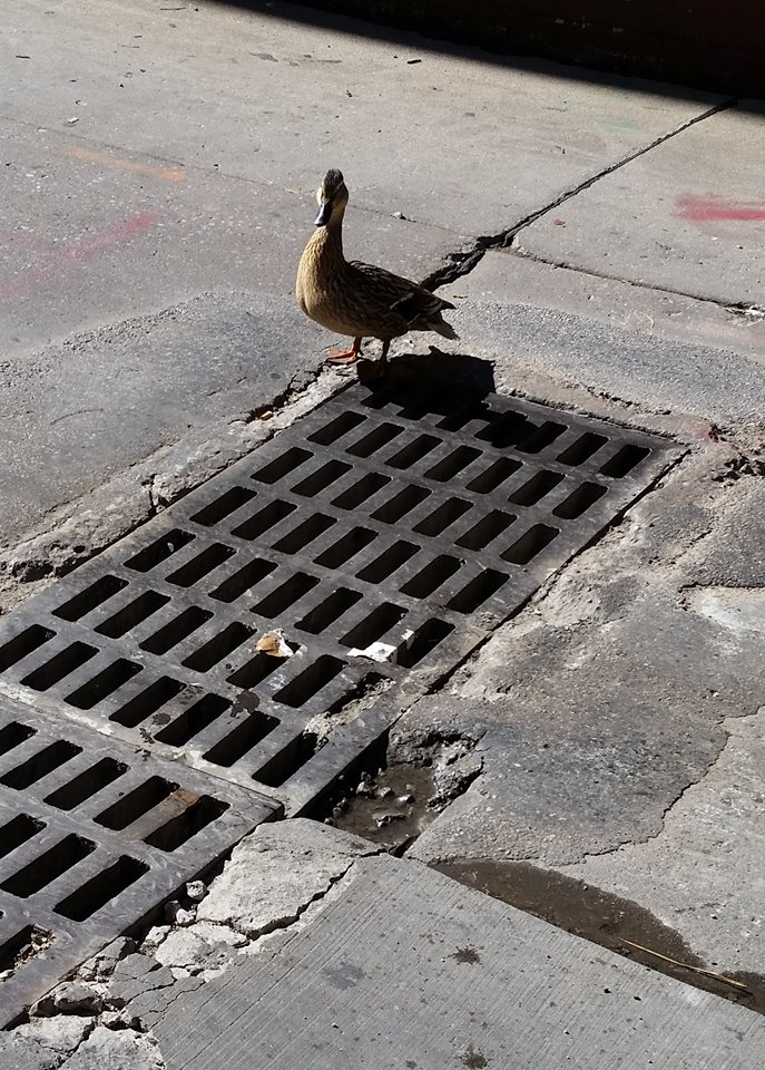 people save ducklings from sewer