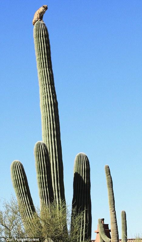 bobcat on top of tall cactus