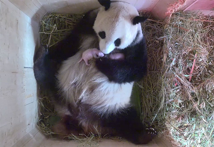 giant panda birth twins