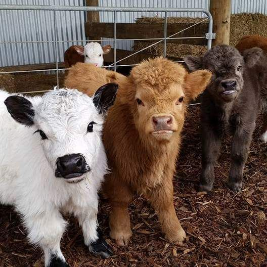 Yes You Can Own A Fluffy Mini Cow And They Make Great Pets