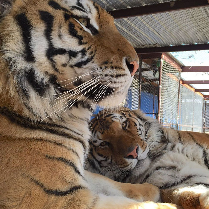 tiger cub rescue finds love