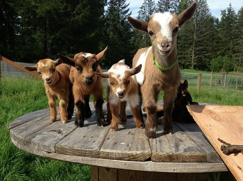 goats on a table