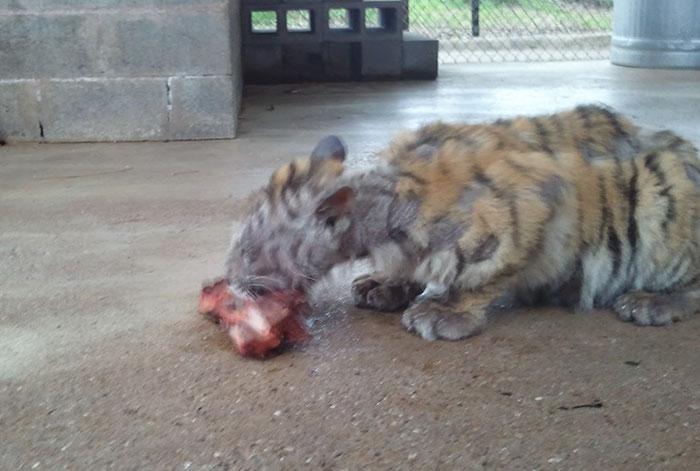 Illness/Sickness: Sick Tiger Salamander! Help! - Caudata.org