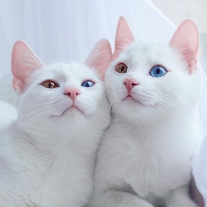 iriss and abyss cat twins beautiful eyes