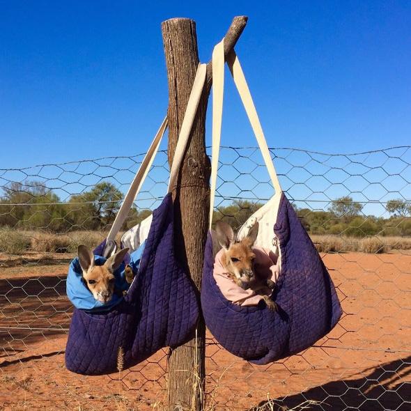 orphaned kangaroo joeys
