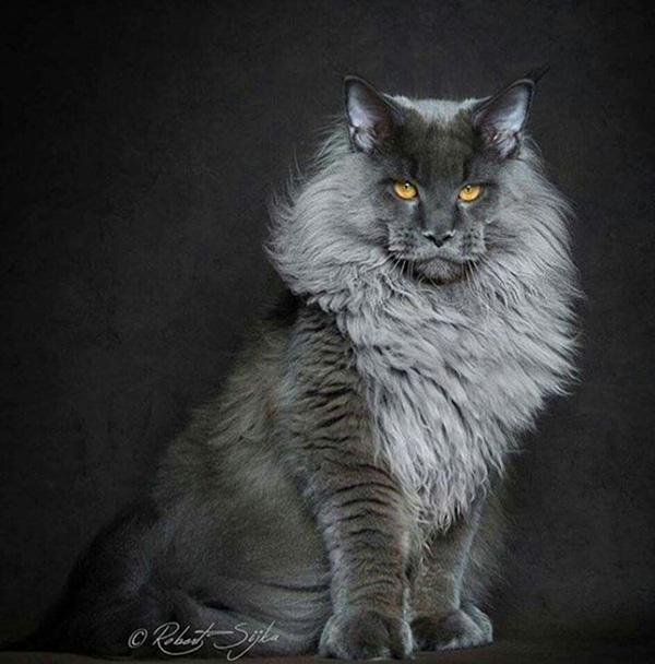 legendary main coon cat photos