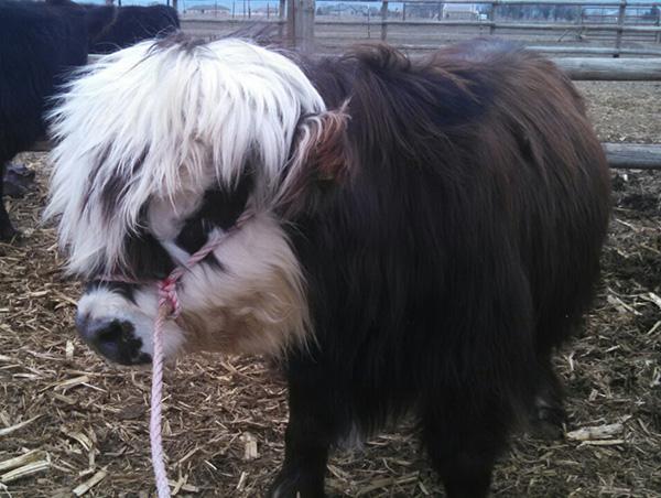 mini cows