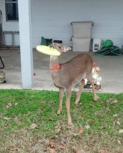 deer frisbee