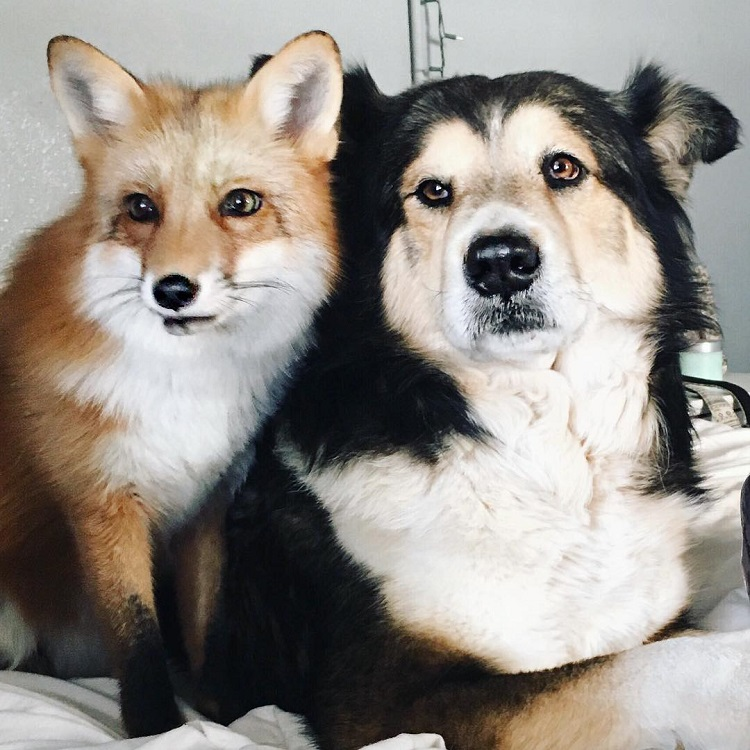 real life fox and hound juniper moose