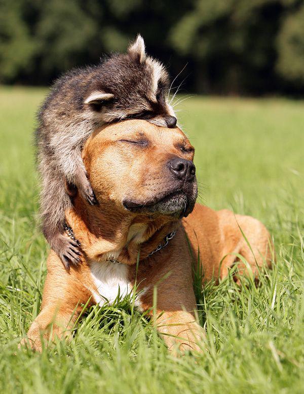 dog raccoon