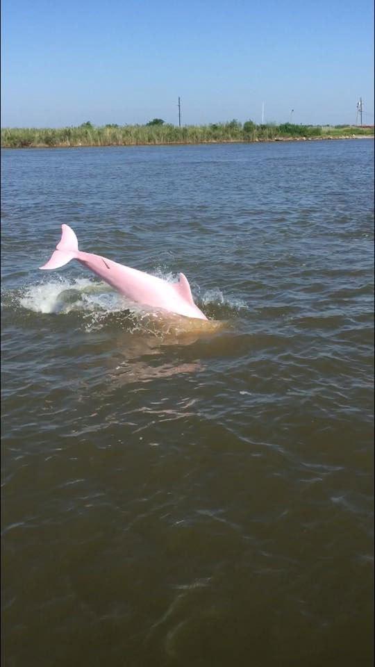 pink dolphin louisiana