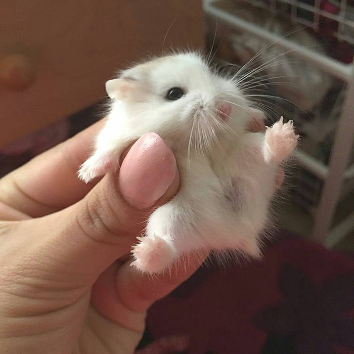dwarf hamster puffball