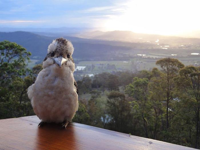 Kookaburra says good morning