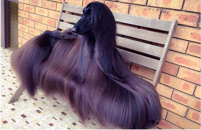 hair goals dog