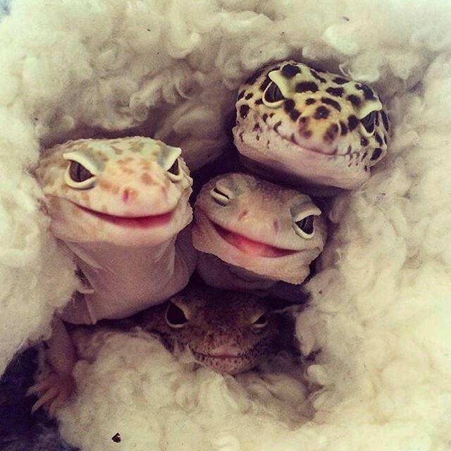 leopard geckos smiling