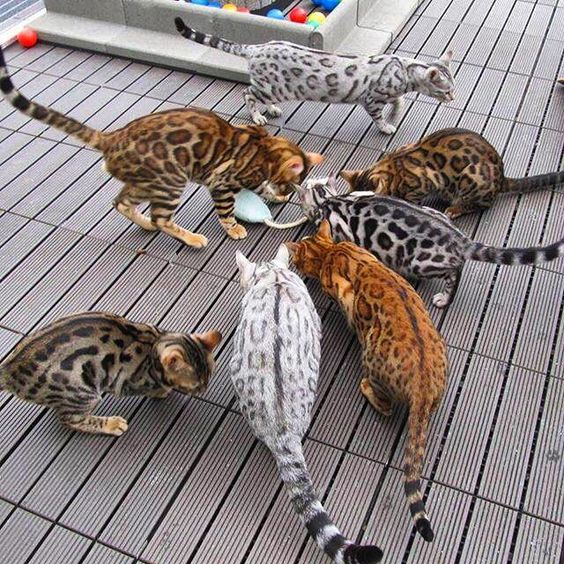 colorful bengals
