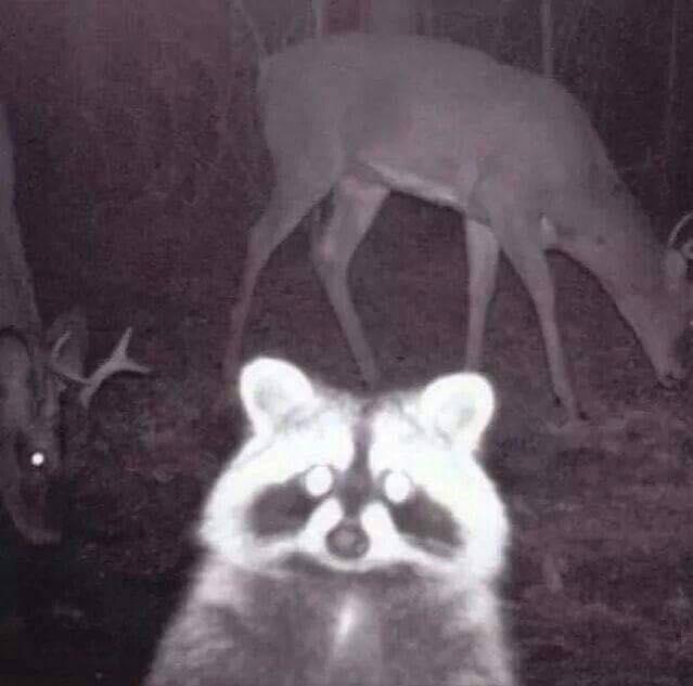raccoon takes a selfie wildlife camera