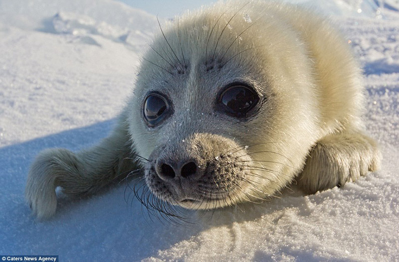 seal pup beautiful photos