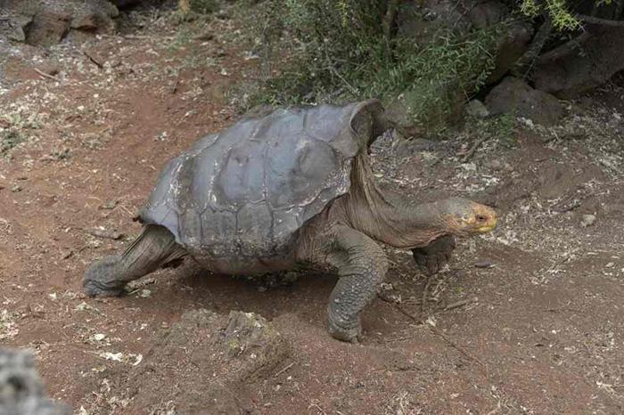 tortoise saves species making babies