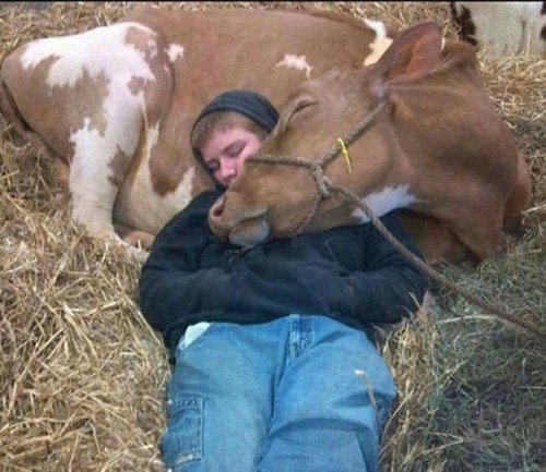 cow and boy sleeping