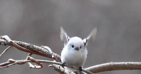 Korean crow-tit cutest bird ever