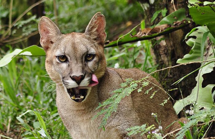 cougar plants