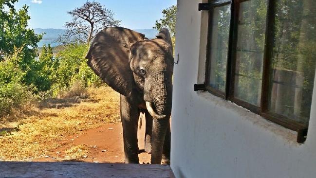 injured elephant seeks help from safari lodge