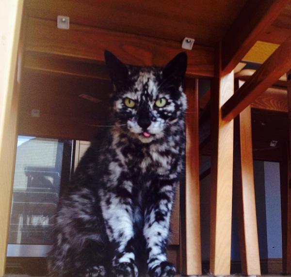 Scrappy cat spotted vitiligo