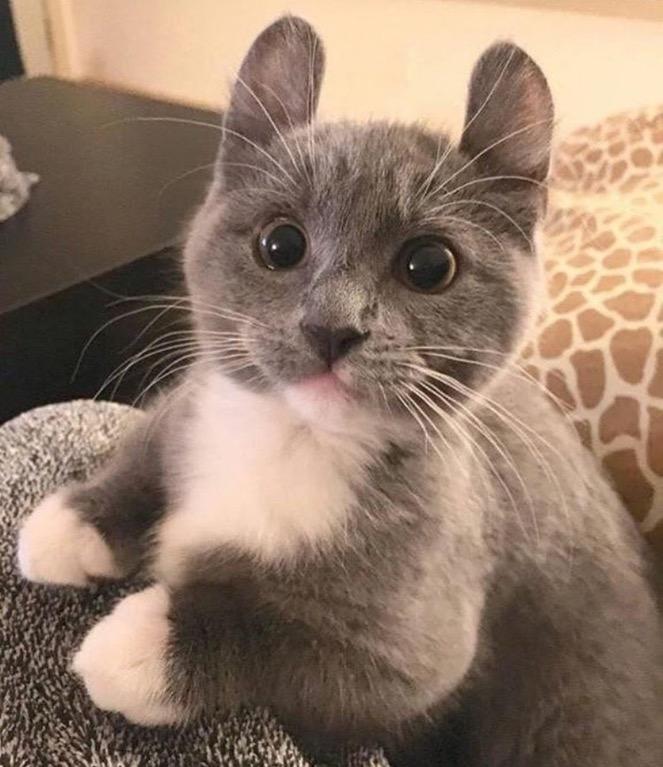 cat long ears bunny cat