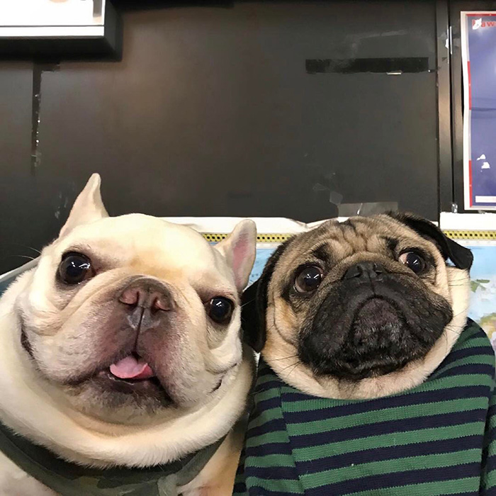 parents try facetime first time pugs