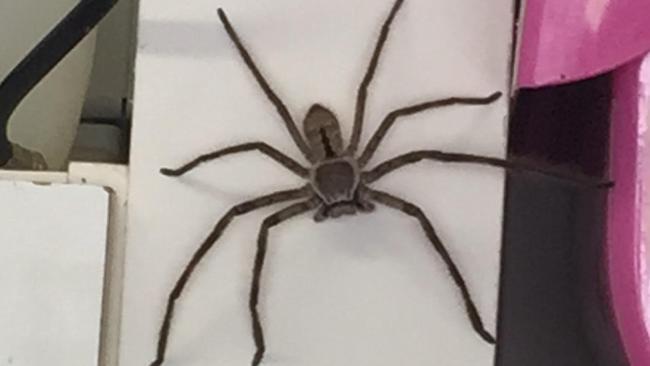spider plague Australia warning