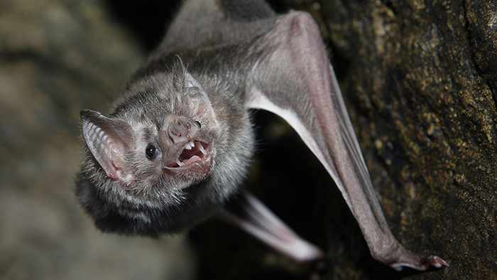 vampire bats bite humans first time