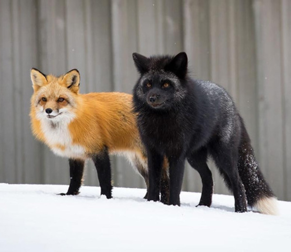 red fox and silver fox pair