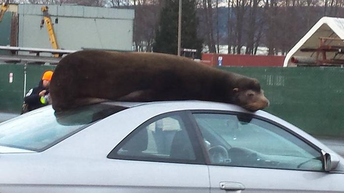 sea lion naps on car