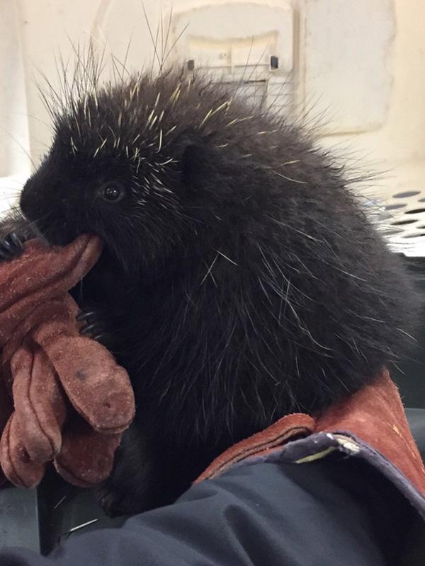 porcupine at vet