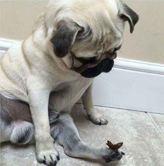 pug butterfly on foot