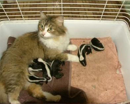 Farm Cat Nurses Six Baby Skunks That Were Abandoned By