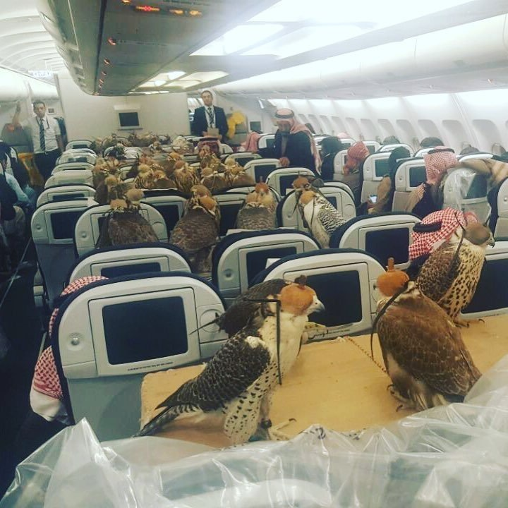 Saudi Prince flies 80 falcons on commercial plane