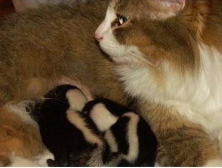 cat nurses baby skunks