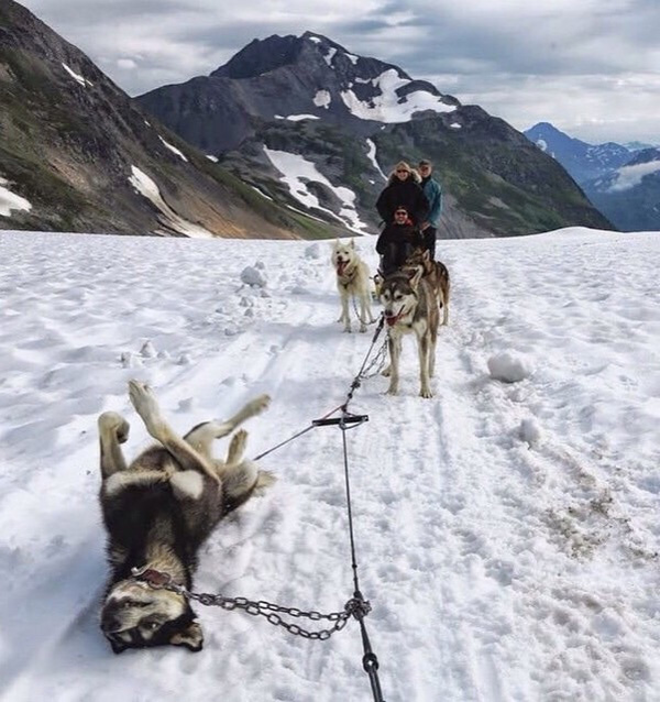 Alaskan flat tire dog