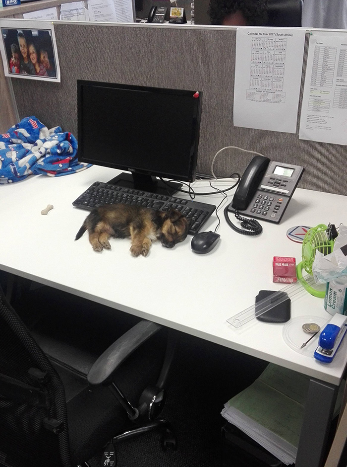 puppy passed out at work cubicle