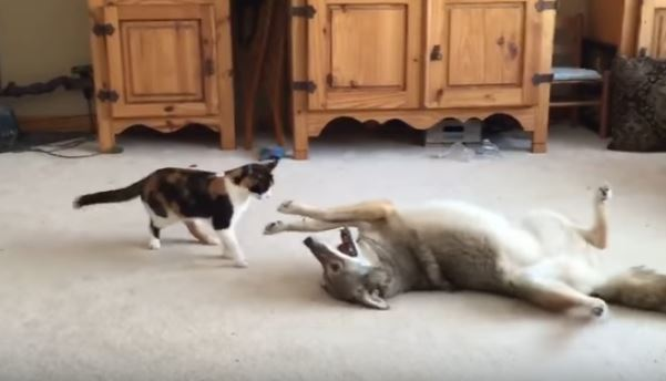 Coyote And Cat Playing In Living Room