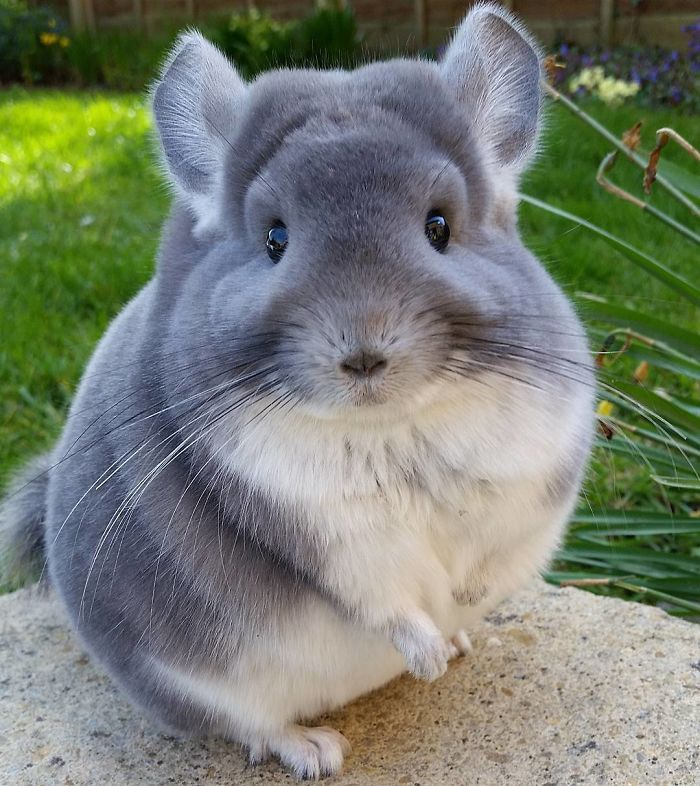 chinchilla perfectly round butts
