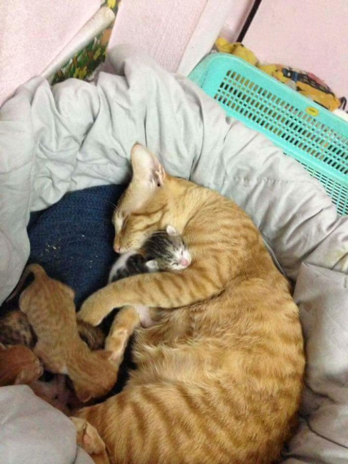 yellow cuddling with his kittens
