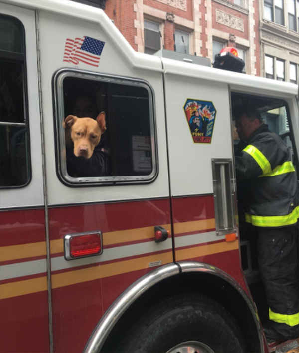 pit bull rescue from crack house to firehouse