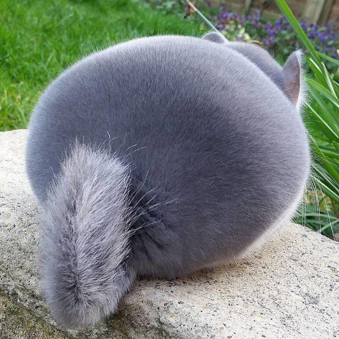 chinchilla perfectly round butts