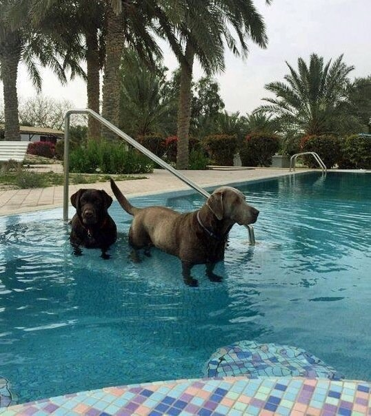 If you put Labradors in water they turn into Dachshunds